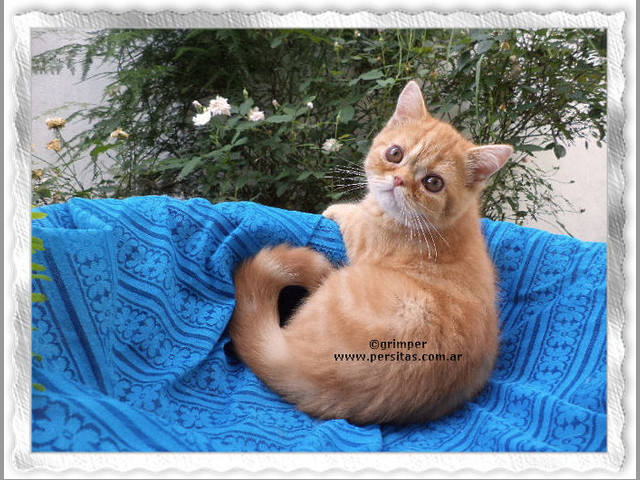 exotico macho red classic tabby