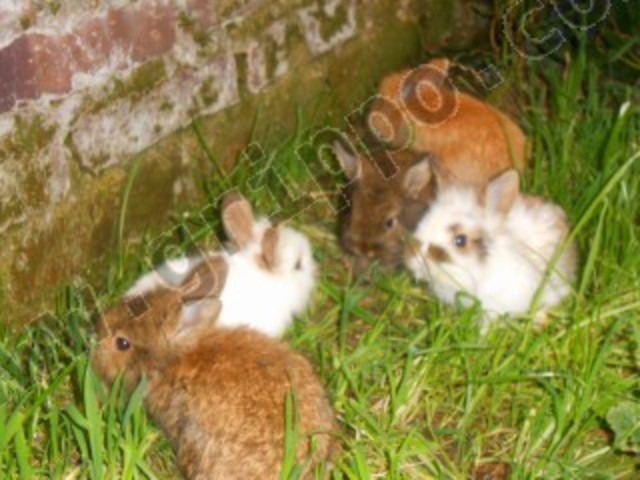 Conejos precio uras enanos y no enanos belier y cabeza de leon - Casas para conejos enanos ...