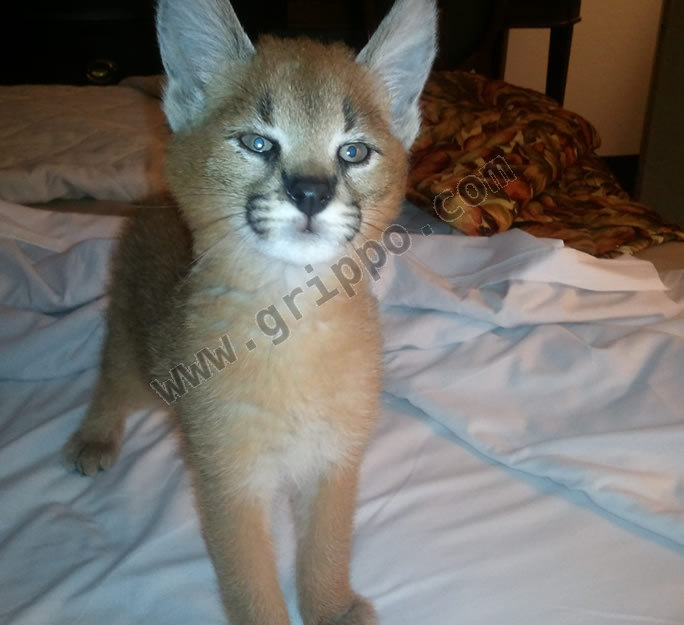 Big Cats For Sale In Indiana