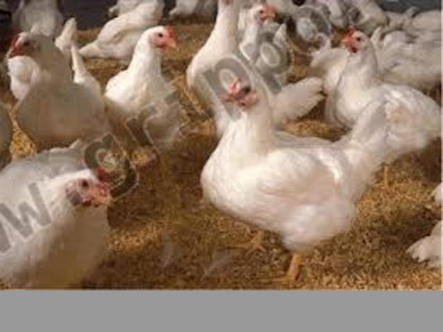 Venta de pollos vivos listos para faenar