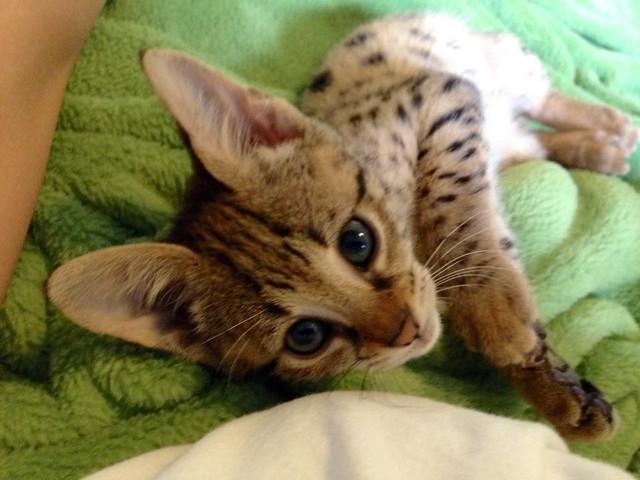 Serval y gatitos de sabana para su adopción.