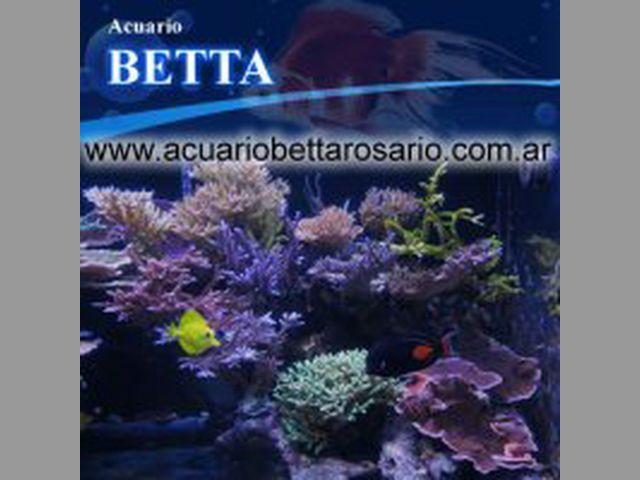 Acuario Betta Rosario