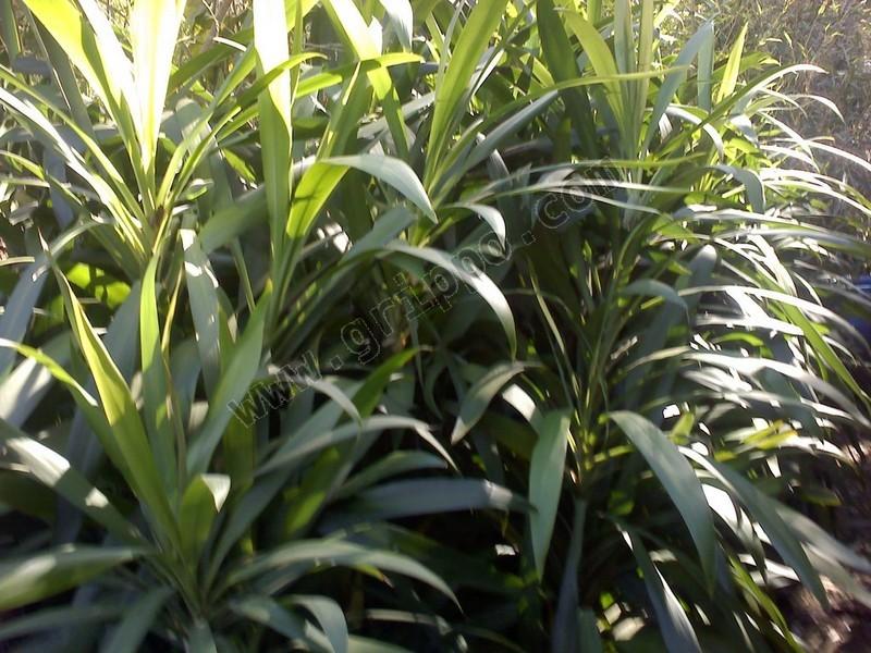 Venta de plantas para interior y exterior tierra y pasto for Plantas para interior y exterior