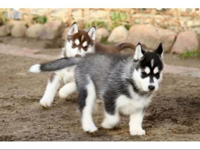 cachorros de husky lindo para rehoming