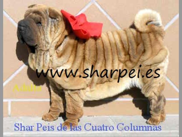 impresionantes cachorros sharpei 100% americanos sobretipados